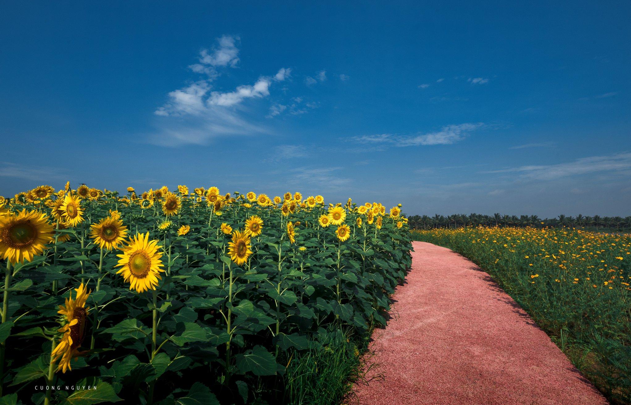 vườn hoa hướng dương Ecopark