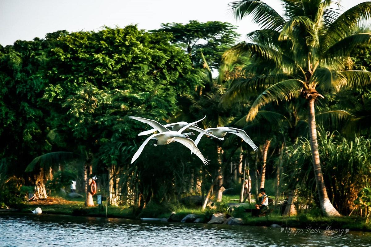 Đàn Thiên Nga Ecopark